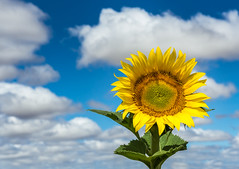 All in (Bai R.) Tags: sunflower sun sky clouds wonderfulday colors vibrant yellow blue green nikkor247028