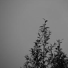 Weidenbaum / Willow Tree (p.schmal) Tags: olympuspenf hamburg farmsenberne herbst