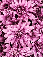 For Y O U... (NadzNidzPhotography) Tags: nadznidzphotography 7dwf flora flower flowers chrysanthemum chrysanthemums bouquet lavender mums