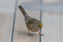 Golden-crowned Sparrow (Peter Stahl Photography) Tags: goldencrownedsparrow sparrow ship dropout migration bird