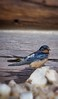 a swallow under the roof (catomaior) Tags: bird rondine swallow tetto roof