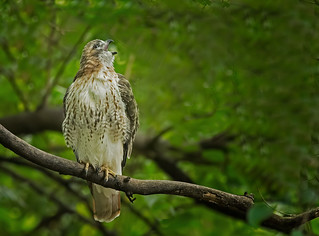 Red-tailed Hawk: Buteo jamaicensis (Explored)