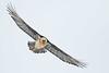 Bartgeier - Bearded Vulture (christianhoefs) Tags: beardedvulture gemmipass bartgeier wallis