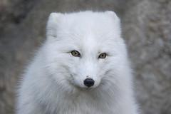 Arctic beauty (ucumari photography) Tags: ucumariphotography arcticfox vulpeslagopus animal mammal nc north carolina zoo october 2017 dsc9620 specanimal