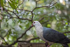 White-headed pigeon (pradeep2471989) Tags: wildlife wildlifephotography birdwatching birdsofaustralia birdlife tarongazoo canon5dmk2 canon100400ii telephotolens