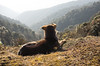 our watchful companion.. [EXPLORE] (eyenamic) Tags: animal dog grass landscape rock mountain morning himalaya kalipokhri sandakphu trekking trek sandakphutrek singalilanationalpark nikon d5100 outdoor