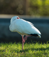 20171024-_MG_9057.jpg (Edie Mendenhall) Tags: florida natural sunny close legs marsh tropicl nature long birds big plumage egret great ardea threskiornithidae stalking tourist feather wild wildlife beautiful standing animal scenic conservationarea outdoors ibis isolated wading green white
