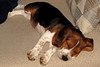 Heckin Snooze (Lunken Spotter) Tags: columbus ohio oh centralohio dog dogs doggo pupper sleep sleepy snooze snoozing canine canid canis canislupusfamiliaris puppy puppies couch pet pets animal animals beagle beaglepuppy