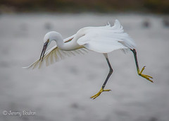 Spread Egret (JKmedia) Tags: egrets sparring fighting birds egret boultonphotography canoneos7dmarkii ef100400mmf4556lisusm 14xextender wales anglesey cemlyn 2017 wildife inflight pair wings feathers nature inair midair egrettagarzetta littleegret