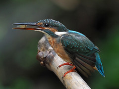Common Kingfisher (ChongBT) Tags: nature natural outdoor animal bird wildlife wild common kingfisher alcedo atthis bengalensis landscape horizontal perching perch bamboo twigs feeding foodinmouth food mouth smallfish eating