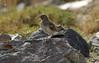 42. Bird (Sp. Unknown, Maybe Juvenile Horned Lark (Eremophila alpestris), Around Campsite At Hesarchal, Alborz Mountains, Iran (Jay Ramji's Travels) Tags: iran alborzmountains middleeast campsite hesarchal juvenile hornedlark eremophilaalpestris