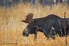 Young Bull Moose (jimgspokane) Tags: moose bullmoose turnbullwildliferefuge wildlife animals washingtonstate otw
