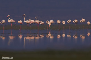 The greater flamingo.
