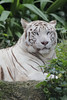 White Tiger_Canon 5dsR_HSS_BZ16 (Barry Zee) Tags: white tiger singaporezoo zooanimal canoneos5dsr canonef300mmf4lisusm 5dsr 1view0faves0commentsshowmorestatstakenonoctober3 2017allrightsreservedcanoneos5dsr whitetiger canonphotography explore