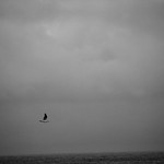 Gull - Gray thumbnail