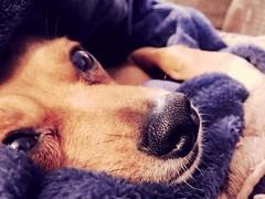 I'm getting veeeery sleeeeepy (rebekahkerr) Tags: nighttime sleepy sleepydogs doggy miniaturepincher minpin chihuahua goodnight dog