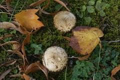 Herbstlaub und Pilze (autumn leaves and mushrooms) (3) (HEN-Magonza) Tags: herbst autumn botanischergartenmainz mainzbotanicalgardens rheinlandpfalz rhinelandpalatinate deutschland germany