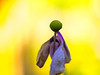 An autumn day in the garden........ (Unni Henning (also Instagram @unnikarin59)) Tags: closeup anemone pink decay october sunshine plant nature flower blossom autumn yellow bokeh narrowdepthoffield warwickshire england