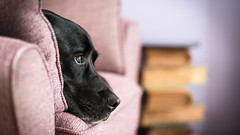 Home. (Marcus Legg) Tags: max dog pet petportrait home black labrador retriever lab blacklabradorretriever bokeh relax indoors canon eos ef70200mmf28lisii 1dx friend fur handsome moody animal chilled eyes portrait lazy