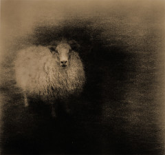 Wooly Bully (micalngelo) Tags: sheep alternativephotography alternativeprocess lithprint lithprocess moerschlith filmphoto ananlog brownie acros100film