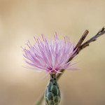 Thistle flower thumbnail
