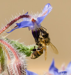 Bee (m&em2009) Tags: bee insect flower borage blue pollen homey bug