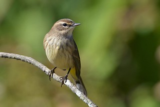 Palm Warbler by Jackie B. Elmore 10-18-2017 Lincoln Co. KY