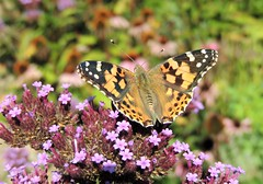 A Lady Sunbathing (Kevin Pendragon) Tags: paintedlady butterfly summer sun sunshine nature insect nectar flowers pink black white orange brown amazing awesome wings