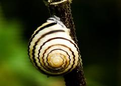 #MacroMondays #Spiral #blurred (BrigitteE1) Tags: macromondays spiral blurred hmm happymacromondays snail green flickr blur natur nature macro