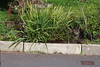 TWO Cats. (Grumpy O M) Tags: cats felines kerb olympusstylus1 plants garden waterstopcover