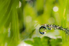 Hidden Tresures (jocsdellum) Tags: hidden tresures water agua drops gotas rocío dew macro verd verde green bokeh bokelicious