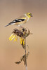 American Goldfinch (www.studebakerstudio.com) Tags: americangoldfinch goldfinch finch studebaker nature wildlife bird sunflower fall autumn wilt