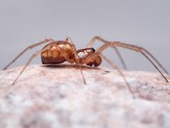 Neriene sp. peltata ? Sub-adult male. (mickmassie) Tags: arachnida gunnersburytriangletq201786 gunnersburytriangletq2078 linyphiidae spider