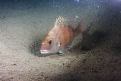 Red Seabream (Gomen S) Tags: animal wildlife nature underwater ocean diving hongkong hk china asia tropical 2017 night autumn sony sonyflickraward rx100v fish cuttlefish