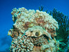 Whitespotted Pufferfish (Arothron Hispidus) IMG_8887 (David Whistlecraft) Tags: canong12 seasea seaseays27dx underwaterphotography redsea underwater underwaterimages scubadiving scuba marinelife marinefish whitespottedpufferfish arothronhispidus pufferfish