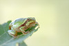 Tree frog (mycameratravels) Tags: treefrog looking leaf emptyspace
