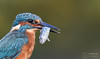 Up Close and Personal (mikedenton19) Tags: kingfisher male alcedo atthis alcedoatthis bird nature wildlife water river scotland kirkcudbright alanmcfadyen kingfisherhide fish catch fishing commonkingfisher