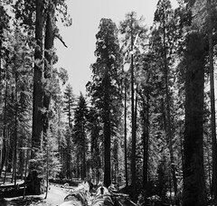 Among Giants (thedailyjaw) Tags: sequoianationalforest sequoia redwoods california bigreds bw scale perspective giants 100giants trail forest nature wonders contrast blackwhite d610 nikon woods wooden tokina1628mm wide blackandwhite
