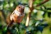 Another Hum (Life of David) Tags: california camarillo canon5dmarkiv selasphorussasin usa wildlife allenshummingbird backyard beautiful beauty bird hummingbird nature world100f