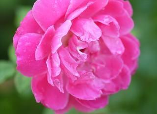 Rose d'automne. Autumn rose. (Maria Callas)