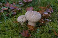 Herbstlaub und Pilze (autumn leaves and mushrooms) (HEN-Magonza) Tags: herbst autumn botanischergartenmainz mainzbotanicalgardens rheinlandpfalz rhinelandpalatinate germany deutschland herbstlaub autumnleaves pilz mushroom