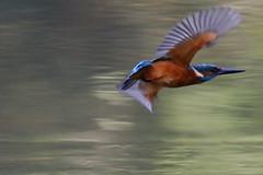 martin-pêcheur d'Europe ( Athis athis ) Brech 170927c2 (papé alain) Tags: oiseaux passereaux alcédinidés martinpêcheurdeurope alcedoatthis kingfisher brech bretagne morbihan france