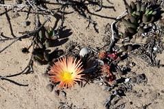 Cephalophyllum inaequale? (Aizoaceae)