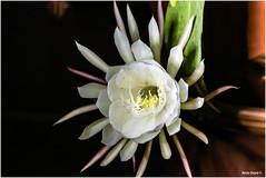 fiore della luna (niclo donà) Tags: nigth notte fiore bianco fiorebianco
