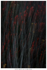 Painting with the autumn (Stefan Gerrits aka vanbikkel) Tags: finland kirkkonummi canonef2470mmf28liiusm canon5dmarkiii nature wildlife vanbikkel tree trees kotipihlaja wildelijsterbes lijsterbes rowan mountainash sorbusaucuparia red berry berries autumn herfst