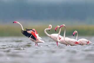 Flamingo (Phoenicopterus) 火烈鸟 huǒ liè niǎo