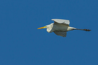 Great egret,