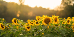Late Afternoon Sunflowers [EXPLORED] (Travis Rhoads) Tags: 2017 sonyilce7rm2a7rii sony85mmf14gm floralphotography sunflowers goldenhour nikcollectionbygoogle thegoldenhour copyright2017 travisrhoadsphotography georgia fausettsfarm sunflowerfarm