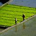 riziéres Philippines BatadC_6852