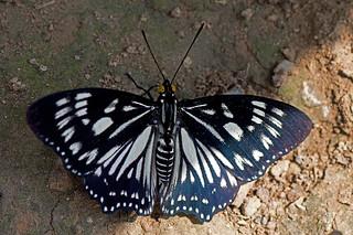 Euripus nyctelius - the Courtesan (male)